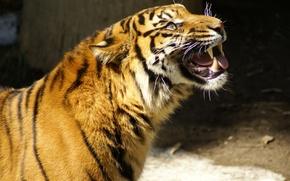 Обои рычит, глаза на выкати, корчит морду, Тигр