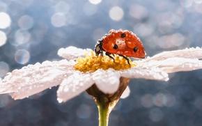 Картинка цветок, капли, макро, роса, божья коровка, ромашка, насекомое