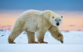 Картинка прогулка, белый медведь, север