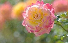 Обои роза, лепестки, макро