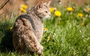 Картинка кошка, трава, солнце, профиль, лесной кот, дикий кот