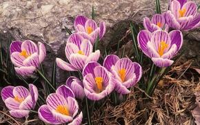 Обои крокусы, первоцветы, весна