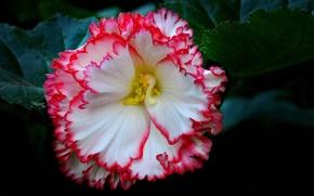 Картинка цветок, листья, лепестки, бегония