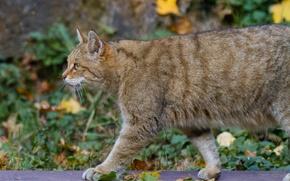 Обои кошка, профиль, лесной кот, дикий кот, листья