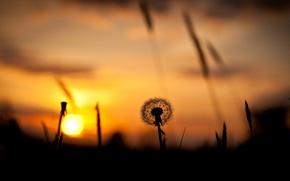 Картинка поле, небо, трава, солнце, закат, одуванчик, силуэт