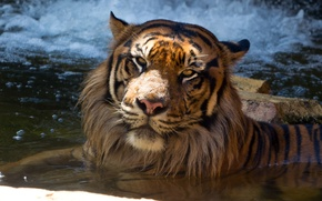 Картинка кошка, тигр, купание, суматранский, водоём, морда