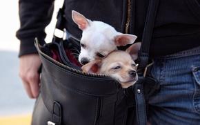 Обои собаки, сумка, парочка, чихуахуа, переезд, мордашки