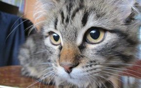 Картинка глаза, кот, крупным планом, шерстинки