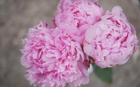 Обои цветы, лепестки, пионы