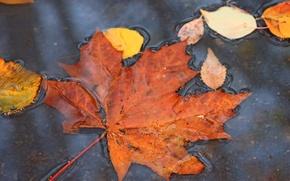 Картинка осень, природа, лужа, клен, листопад