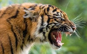 Обои морда, дикая кошка, злюка, оскал, хищник, тигр