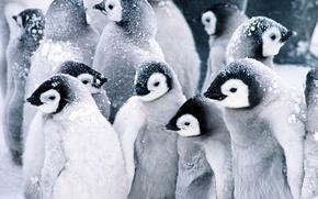 Картинка пингвины, Baby, Penguins, снег