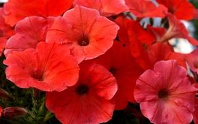 Картинка цветы, природа, лепестки, сад, клумба, петуния