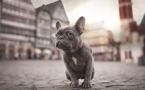 Картинка город, собака, щенок, бульдог