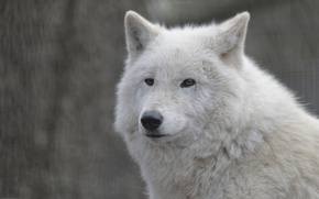 Картинка морда, волк, портрет, белый волк