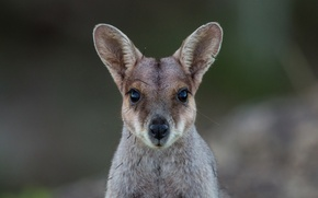 Картинка взгляд, мордочка, кенгуру