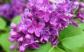 Картинка листья, цветы, природа, ветка, весна, фиолетовые, сирень
