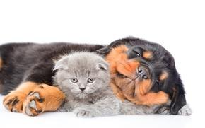 Картинка котенок, Ротвейлер, щенок, Dog, Cat, Kittens