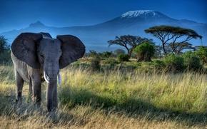Картинка животное, Африка, хобот, природа, деревья, Слон, бивни, уши, трава