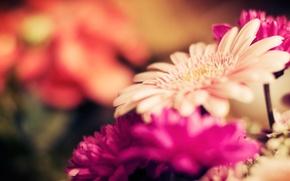 Картинка макро, цветы, природа, стебли, фокус, лепестки, бутоны, flowers, гербера