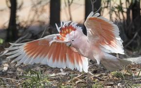 Картинка птица, крылья, попугай, пустынный какаду, какаду майора Митчелла, Какаду-инка