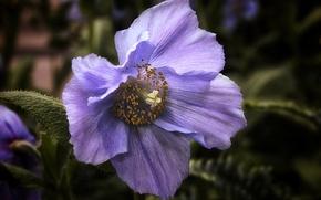 Картинка цветок, голубой, мак, Гималайский