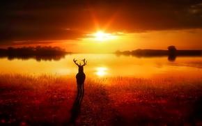 Обои озеро, солнце, свет, олень, трава