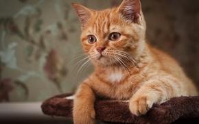 Обои усы, рыжий, глаза, кот