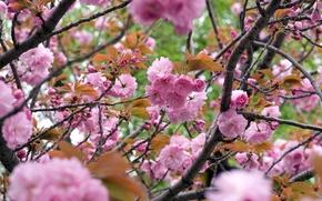 Картинка ветки, Сакура, цветение