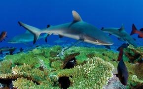 Картинка море, рыбы, кораллы, акулы, подводный мир