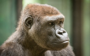 Обои взгляд, обезьяна, природа