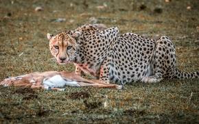 Картинка природа, гепард, охота