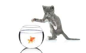 Картинка кошка, кот, аквариум, золотая рыбка, белый фон, котёнок