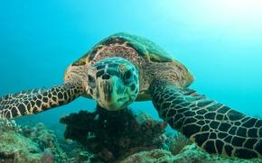 Обои море, океан, черепаха, голова