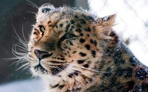 Картинка животные, морда, дикая кошка, амурский леопард
