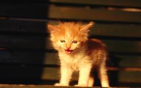 Обои маукает, Котёнок, рыжий