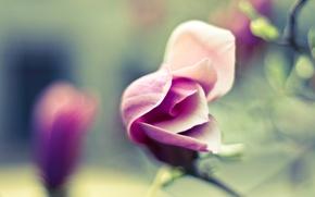 Обои нежность, картинка, обои, цветок, размытость, лепестки, цветение, фото