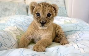 Картинка котенок, хищник, малыш, дикие кошки, детеныш, львенок