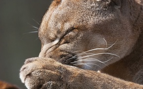 Обои feline, predator, puma