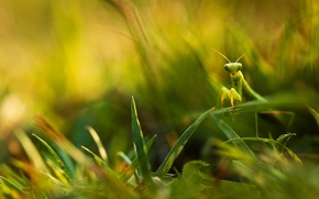 Картинка зелень, трава, листья, богомол, размытость