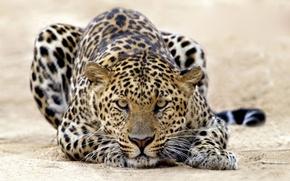 Обои Леопард, тигр, кошки, атака