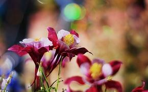 Картинка цветы, водосбор, аквилегия, бордово-розовые