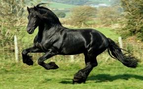 Обои черный, Лошадь, скачет, галоп, фриз