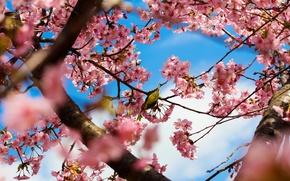 Картинка деревья, цветы, ветки, природа, парк, птица, весна, Япония, сакура, Токио, розовые, цветение