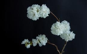 Картинка цветы, ветка, белые, черный фон, цветение