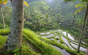 Картинка трава, вода, деревья, пальмы, поля, каскад, террасы