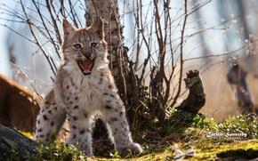 Картинка поза, хищник, рысёнок, пасть, сердитый, рысь, клыки, оскал, детёныш, испуг, дикая кошка