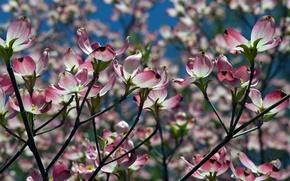Картинка природа, весна, cherry blossom