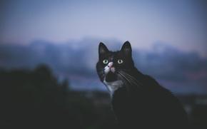 Обои кошка, взгляд, глаза, фон, кот
