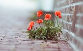 Обои макро, цветы, фото, растение, маки